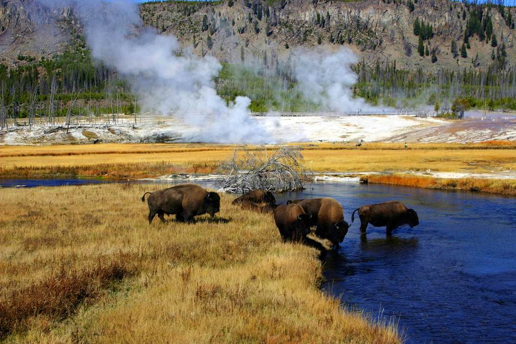 Where the wild things are: bison crossing a river in Yellowstone National Park. Image courtesy of Wyoming Office of Tourism.