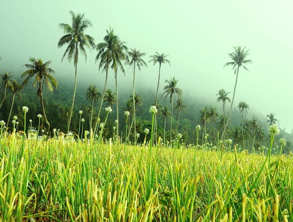 Fog on garlic fields at dawn.