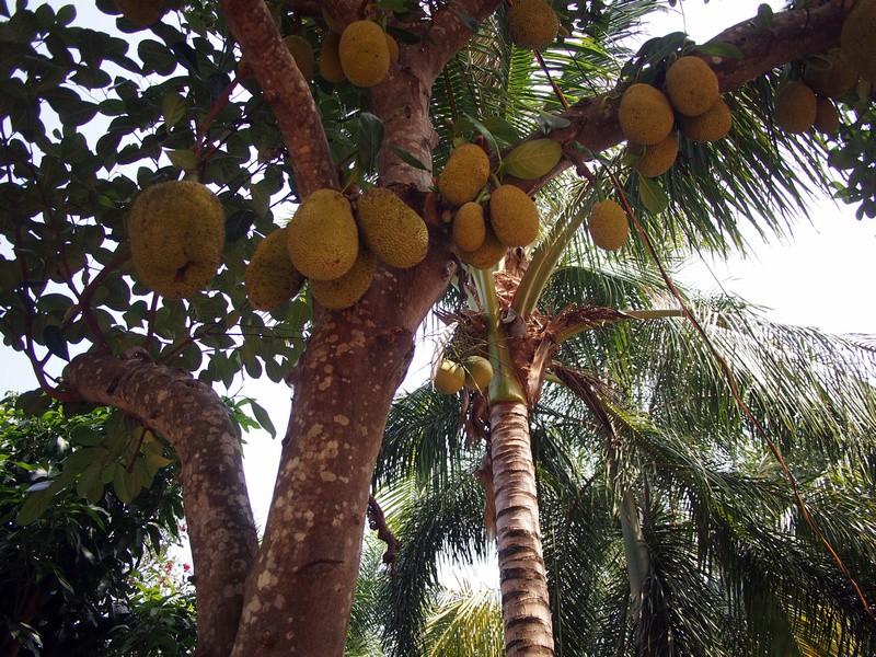 Phu Quoc Island Coconuts and jackfruits