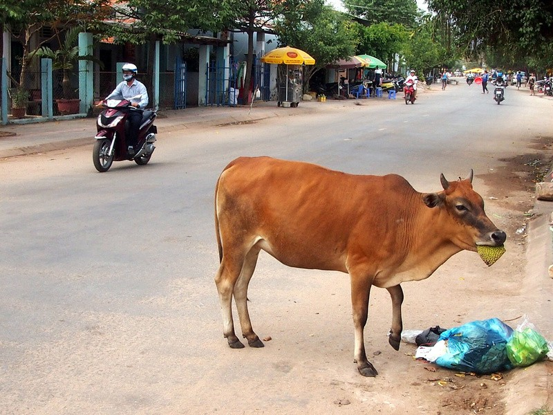 Phu Quoc Island Cow eating jackfruit