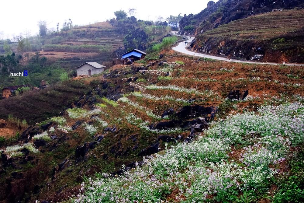chrysanthemum Ha Giang bloom season northwest Vietnam2