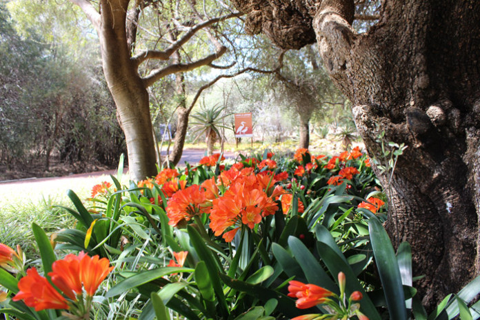 Clivias, also referred to as bush lilies, have heads of brilliant orange (rarely yellow). These trumpet shaped flowers appear mainly in spring but also sporadically at other times of the year. The deep green shiny leaves are a perfect foil for the masses of orange flowers.