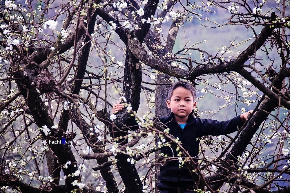 old plum Ha Giang bloom season northwest Vietnam4