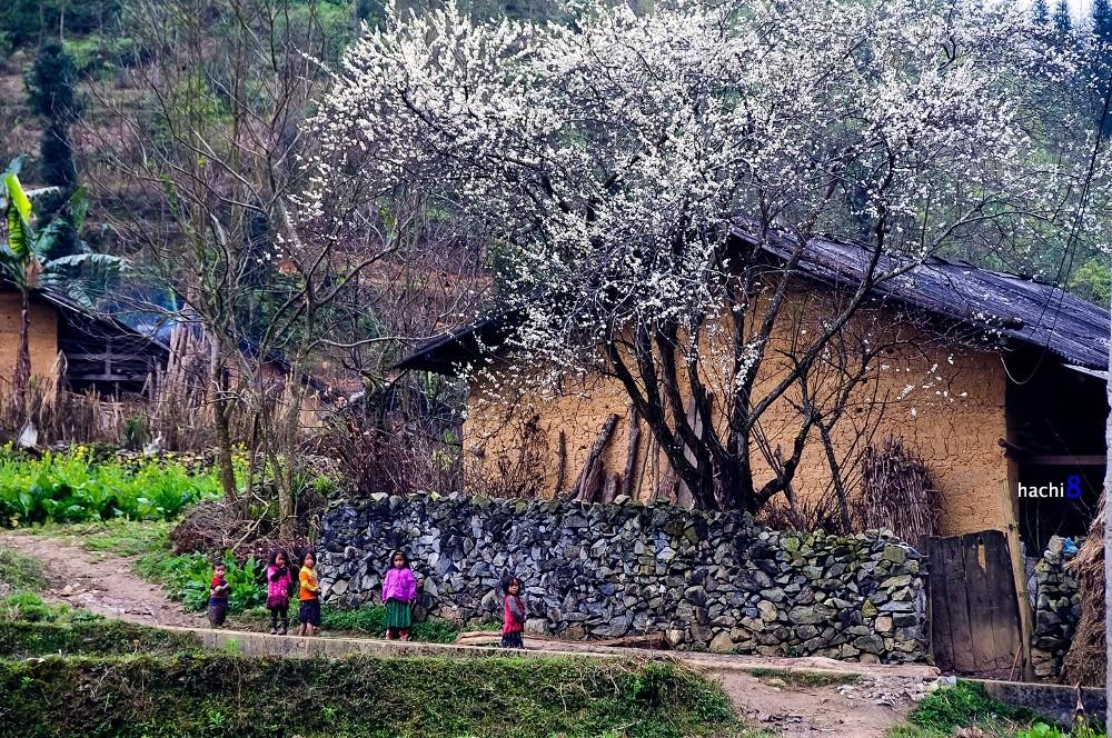 plum Ha Giang bloom season northwest Vietnam3