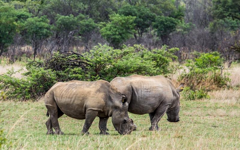 rhinos-in-africa