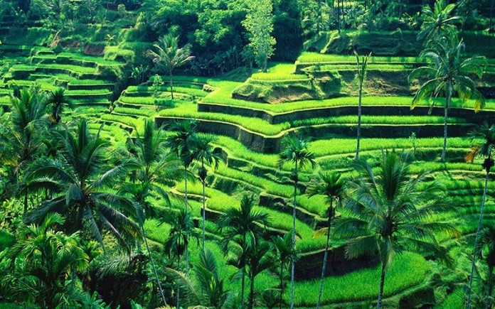 terraced-fields-tegallalang-ubud-bali-indonesia