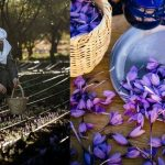Taliouine saffron — An introduction of Moroccan saffron harvesting