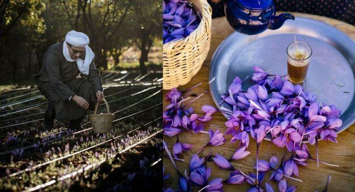 saffron moroccan harvesting