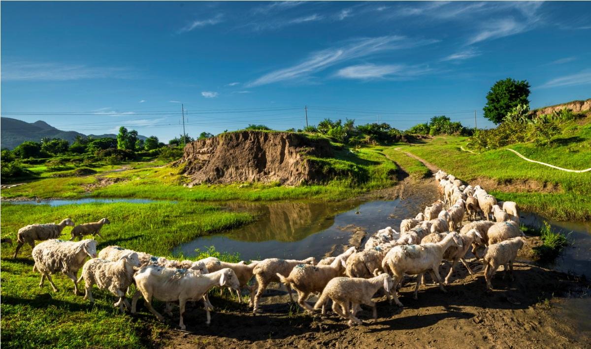 An Hoa sheep idyllic