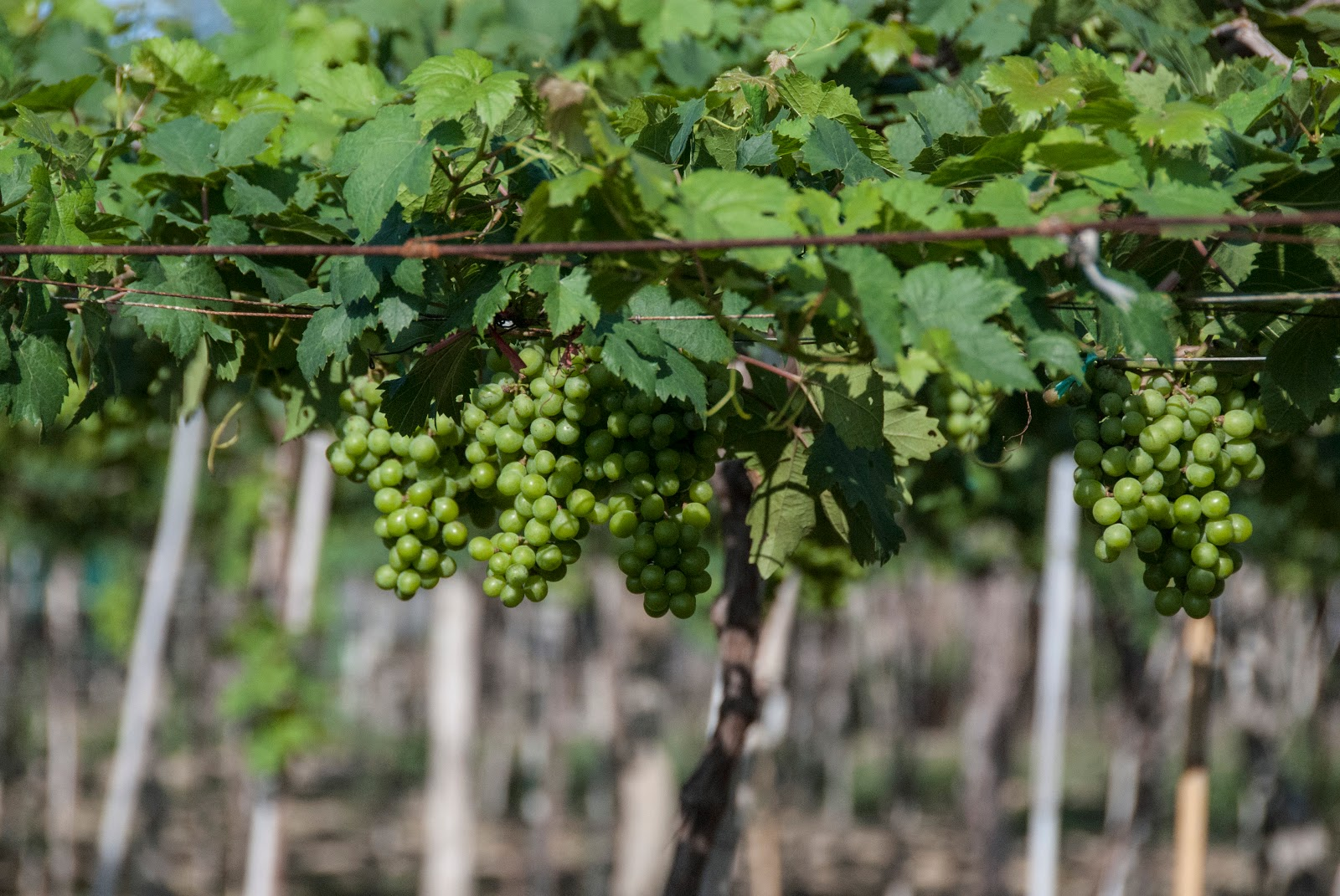Ba Moi vineyard