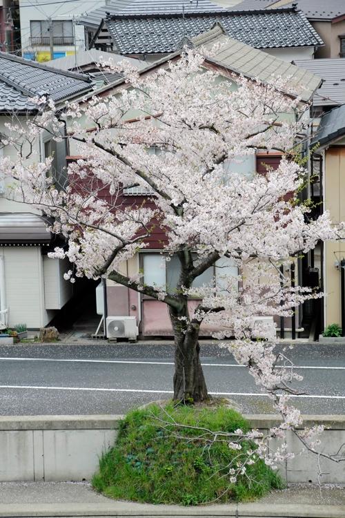 Blooming cherry blossoms - Yamagata, Japan