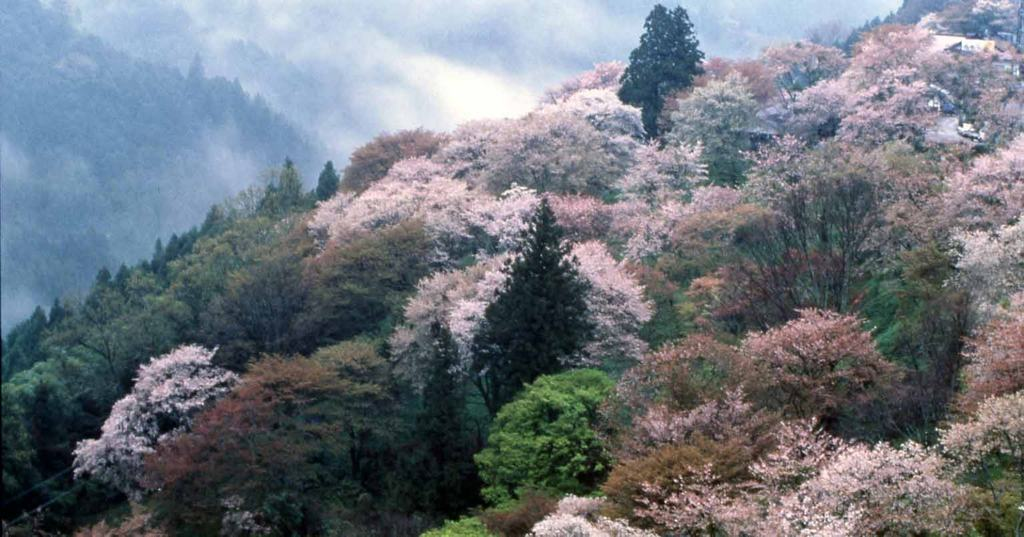 Cherry Blossoms on Mt Yoshinoyama Nara