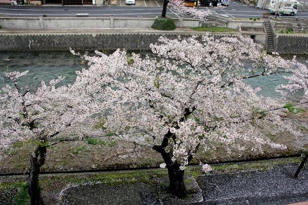 Cherry blossoms Yamagata Japan