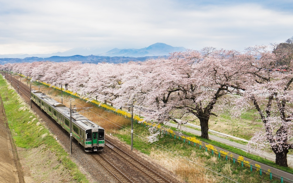 Cherry blossoms in Japan 11