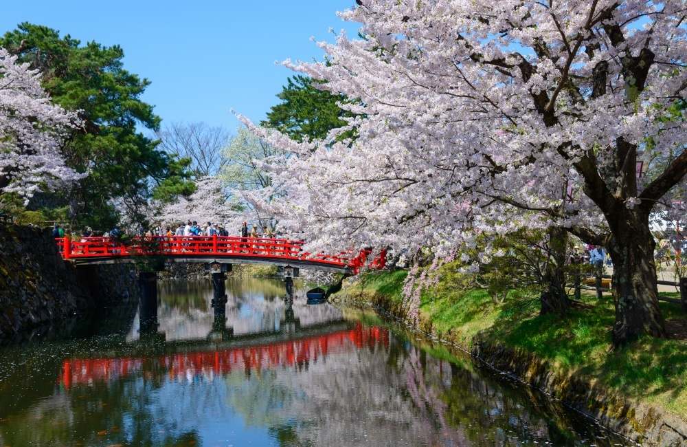 Cherry blossoms in Japan 12