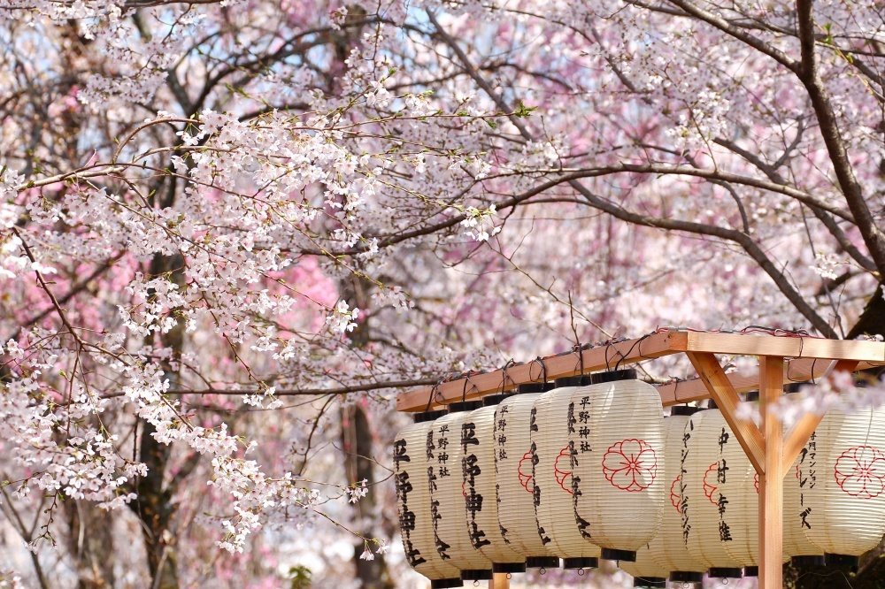 Cherry blossoms in Japan 3