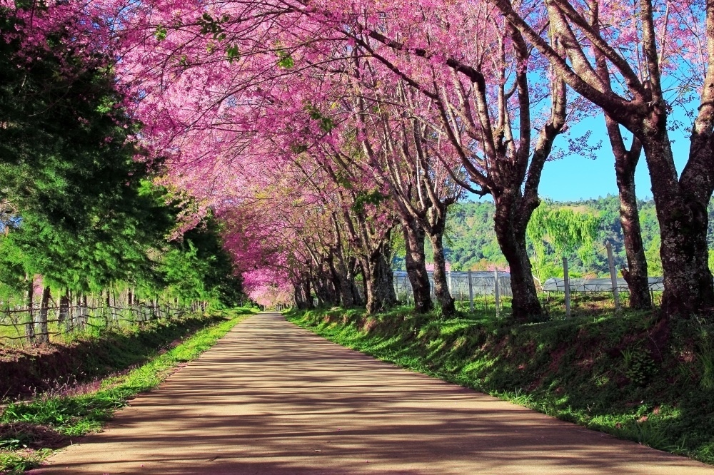 Cherry blossoms in Japan 6