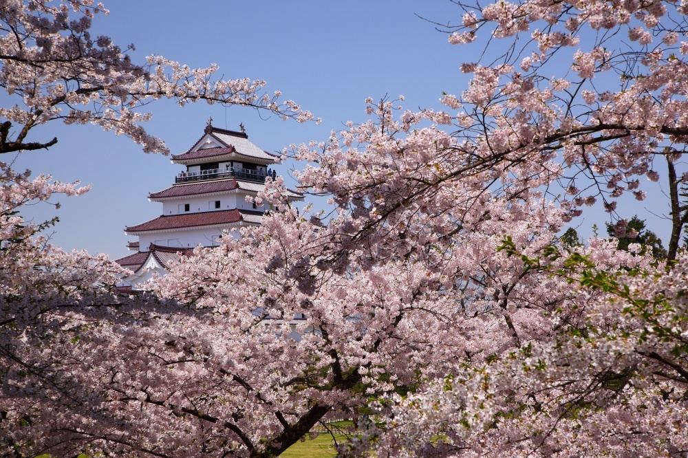Cherry blossoms in Japan 7