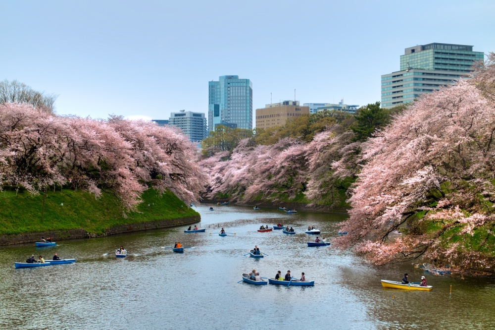 Cherry blossoms in Japan 8