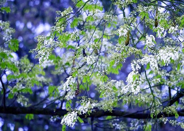 March Hanoi milk white flower season.