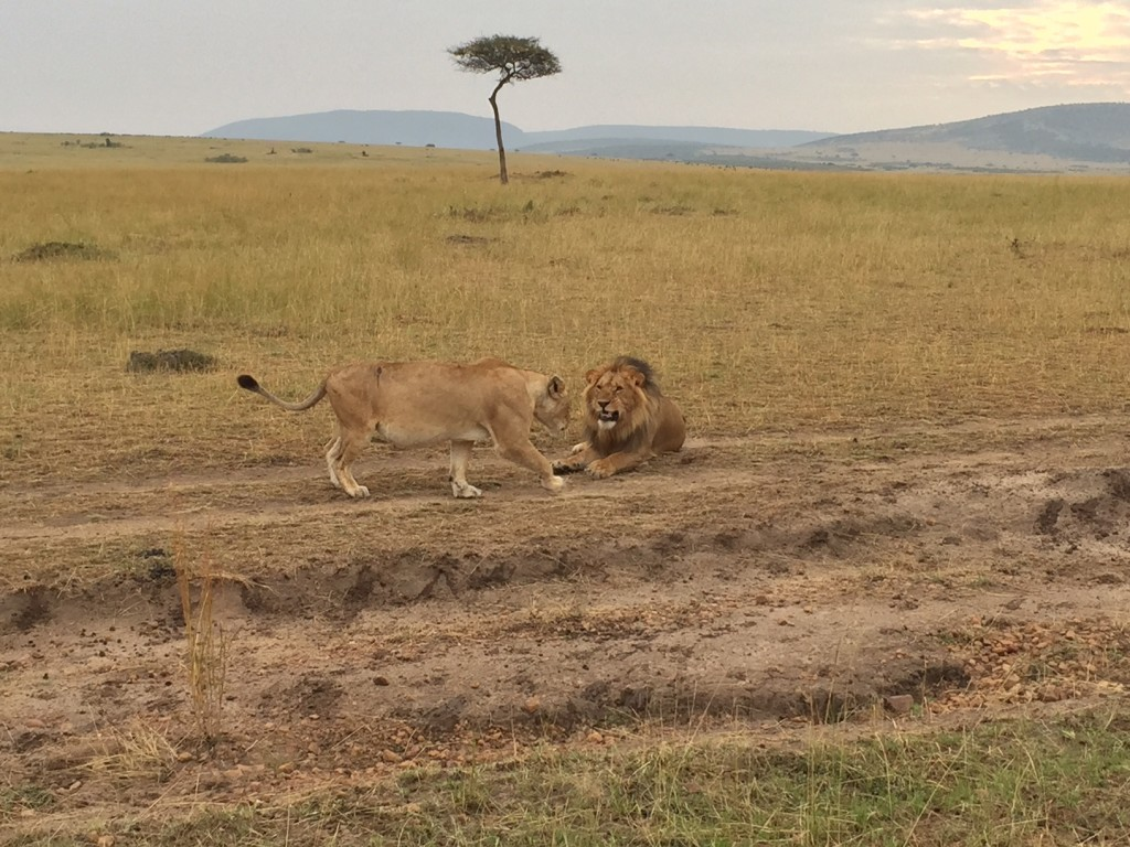 One of the lion couples we found during their mating dance
