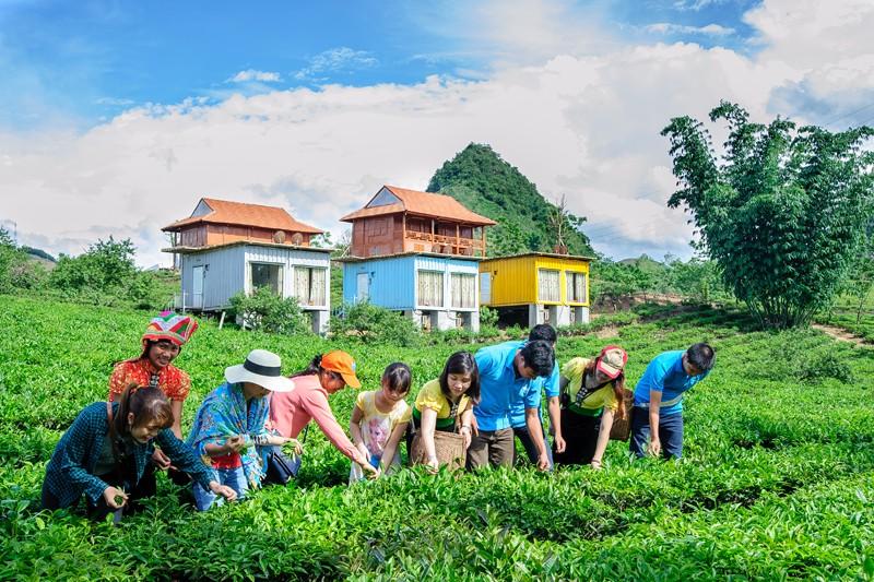 Picking tea in Moc Chau Arena Village