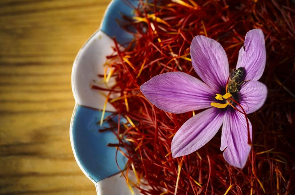 Saffron flowers are traditionally picked early in the morning