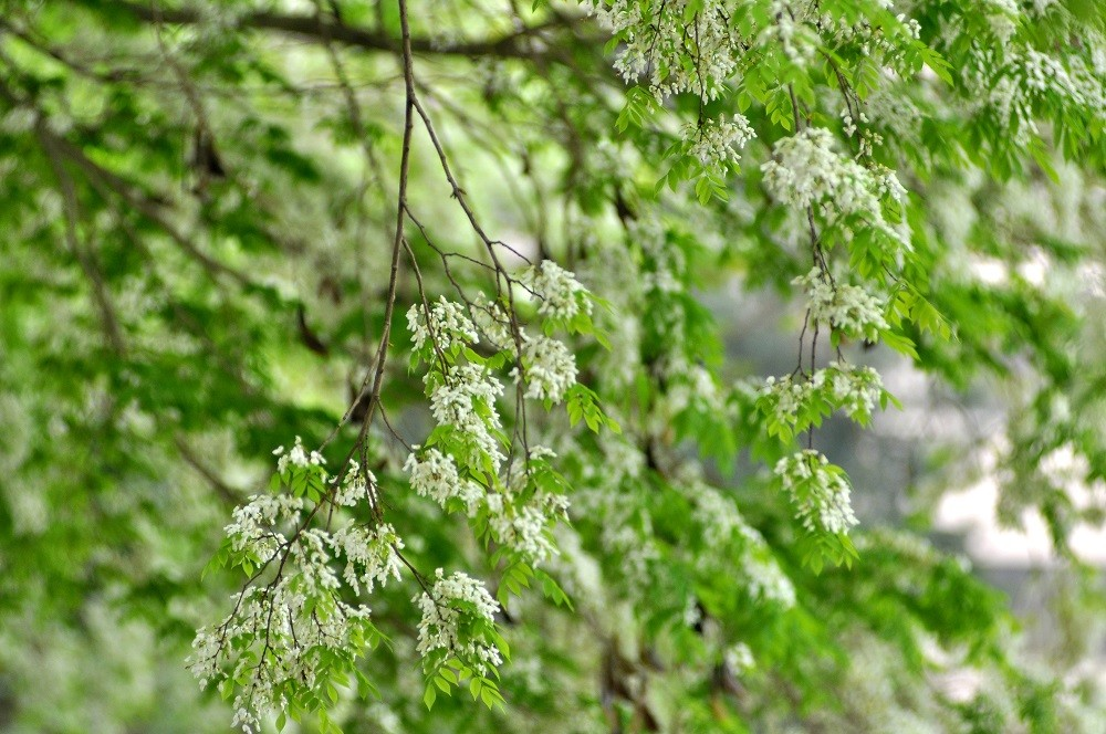 "A white ""sưa"" flower tree blooms by the West lake ( Hồ Tây)"