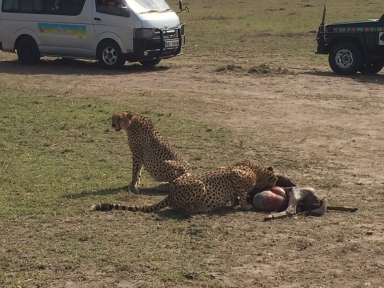 The poor wildebeest caught by these two male cheetahs was quite a spectacle