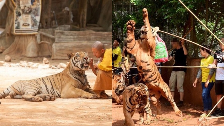 Petting with tigers