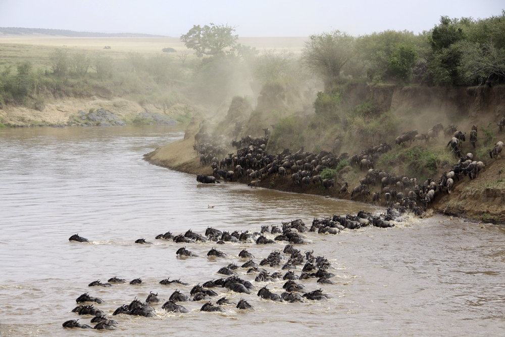 Wildebeests make their journey across the Mara River to enter into Kenya