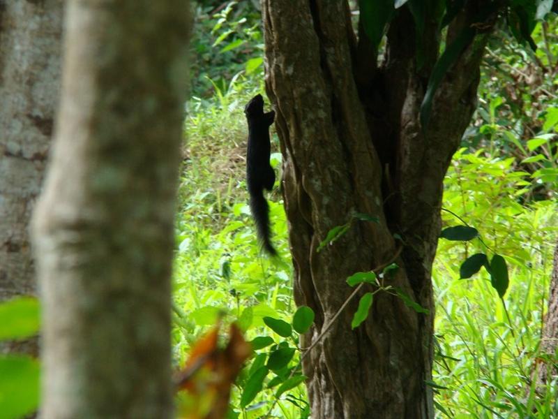 Black squirrel in Con Dao. Photo: landtourcondao.com