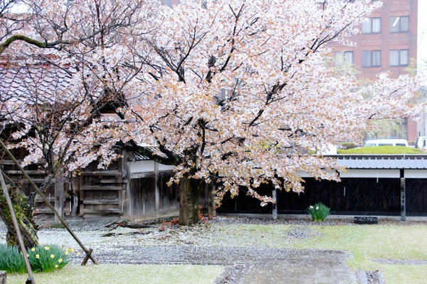 cherries Yamagata Japan