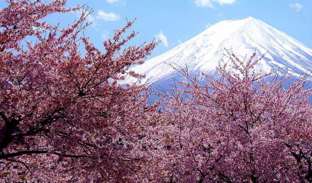 Beautiful cherry blossom blooming at Mt Fuji