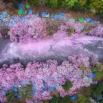 20+ stunning pictures show the beauty of cherry blossoms in Japan