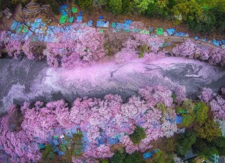 cherry blossom river japan Danilo Dungo