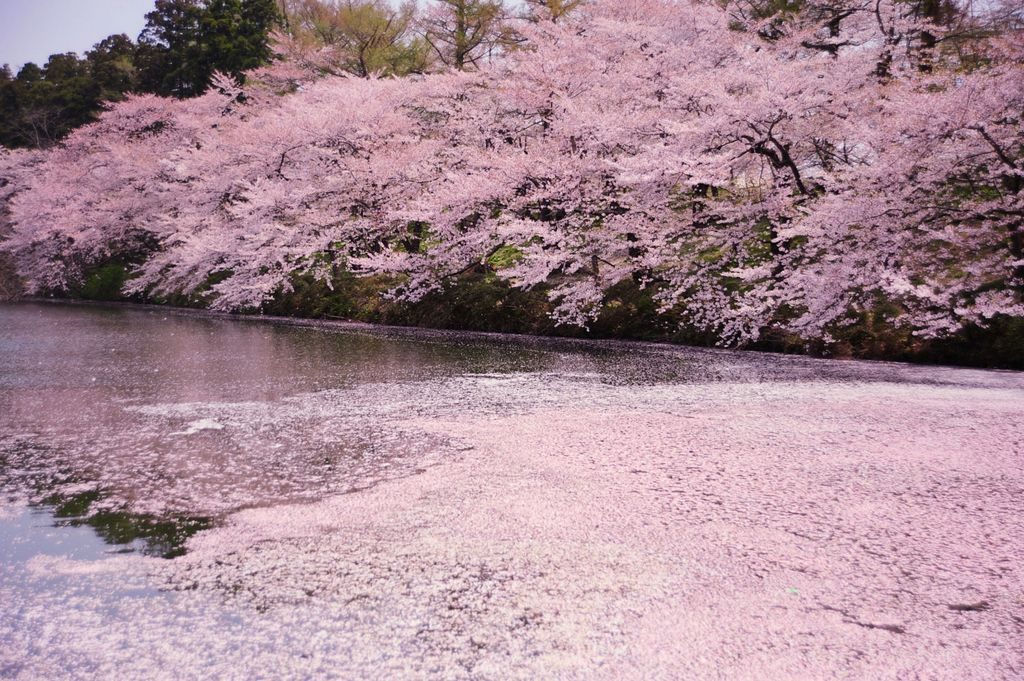 River covered by cherry blossom petals Photo: drscdn.500px.org