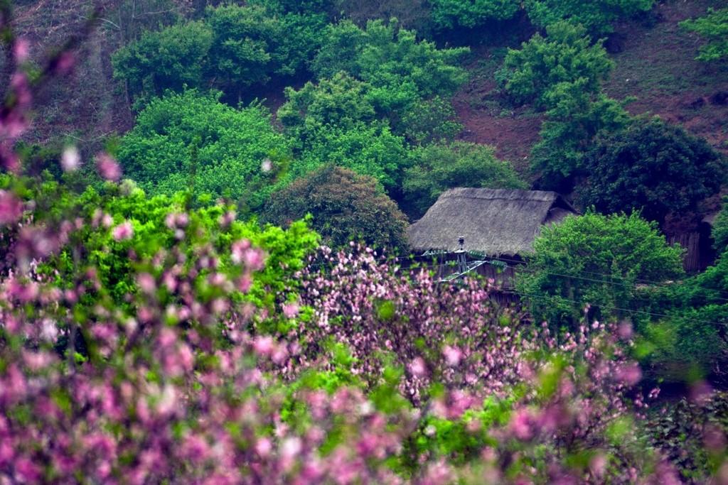Cherry blossom season in Moc Chau Plateau. Photo: dulichmocchauhangtuan.wordpress.com