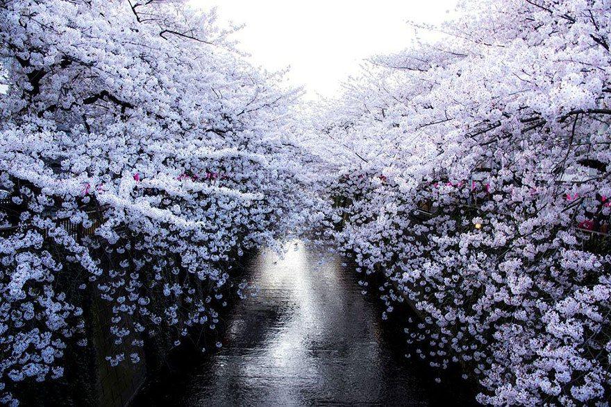 White cherry blossom in Japan Photo: Masayuki Yamashita
