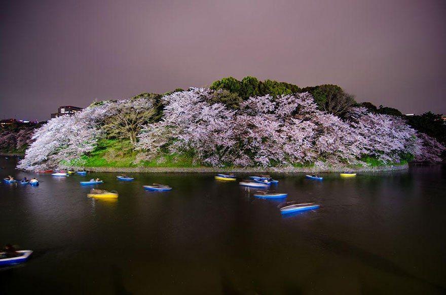 A picturesque photo of Chidorigafuchi in the cherry blossom season Photo: totomai martinez