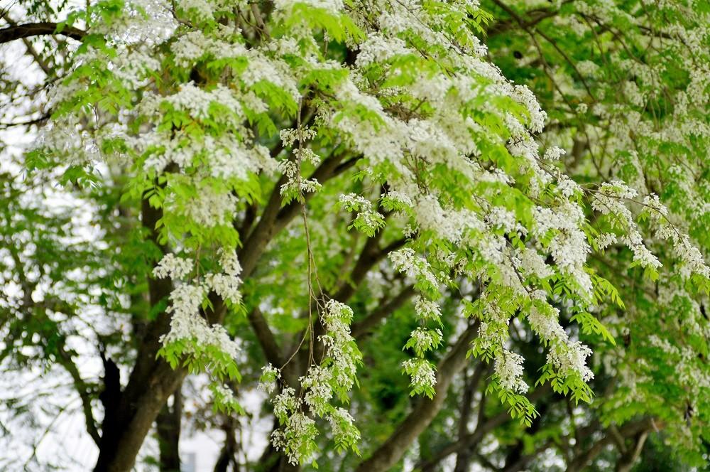 ha noi beautiful white flowers dulich.dantri.com.vn