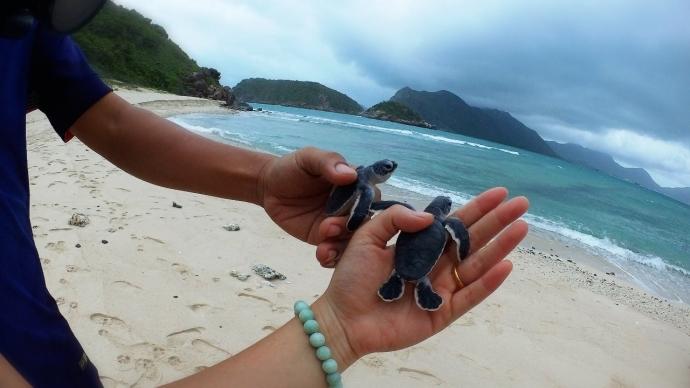 Little turtles in Con Dao. Photo: dulichvietnam.com
