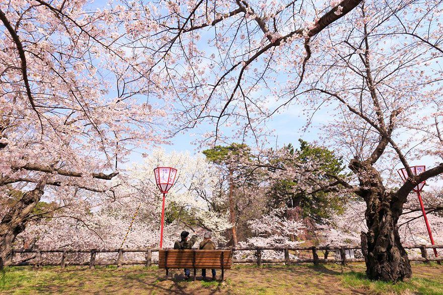Cherry-Blossom-japanese-cherry-tree-sakura