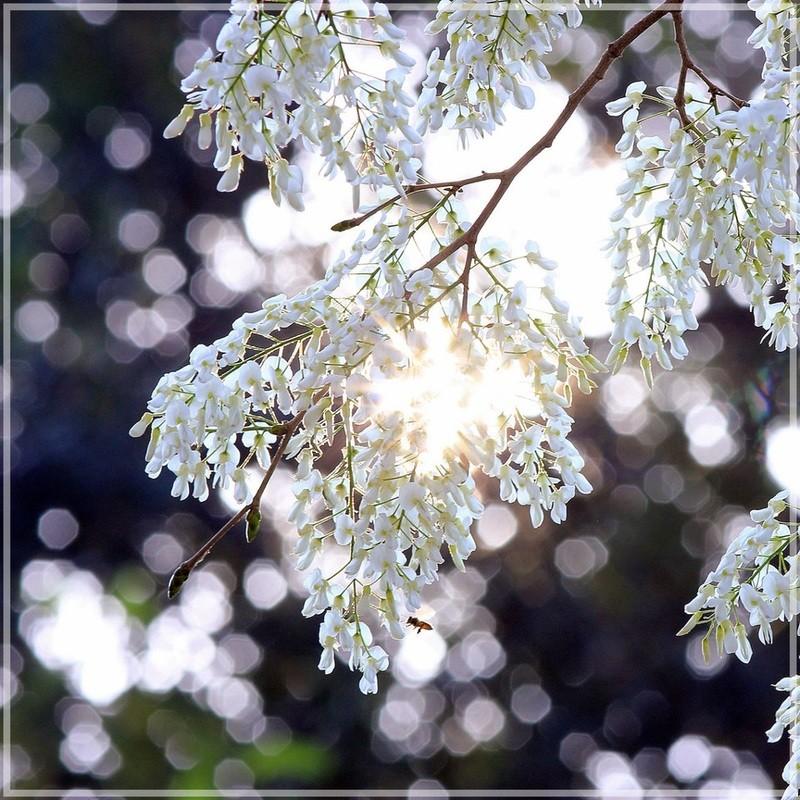 pure white flower ha noi