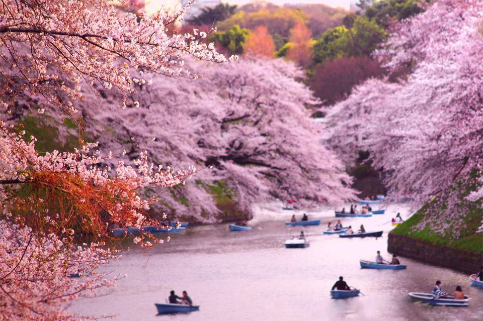 rowing-boats-during-cherry-blossom-at-chidorigafuchi cherry blossom japan 2018 forecast cherry blossom season japan 2018 cherry blossom japan 2018 dates