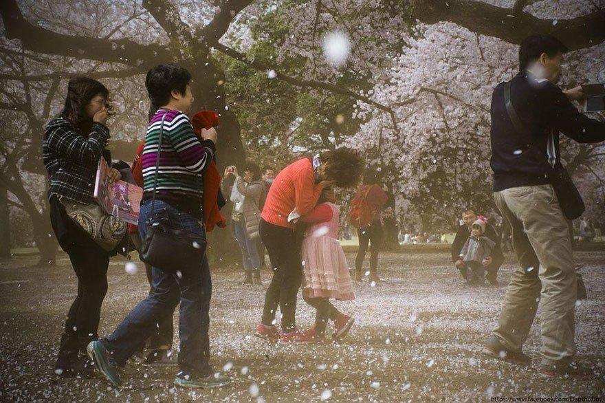 A Cherry blossom blizzard Photo: Joydeep Dasgupta