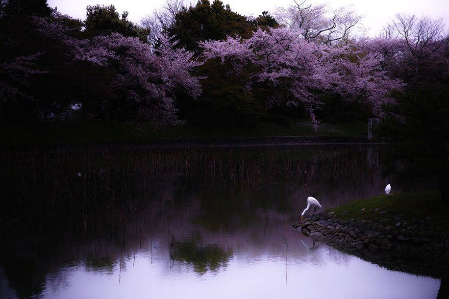 The peaceful picture of cherry blossom by the river bank - Sakura Riverie Image credits: S. Ohtani