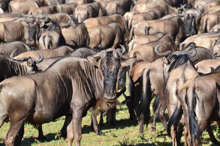 serengeti-wildebeest-migration-africa