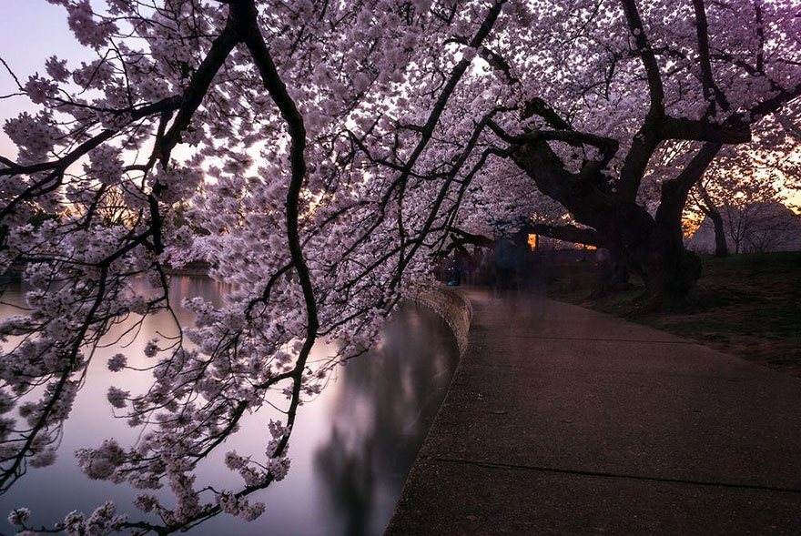 The tunnel of Cherry Blossom Photo: Jessie Meyer