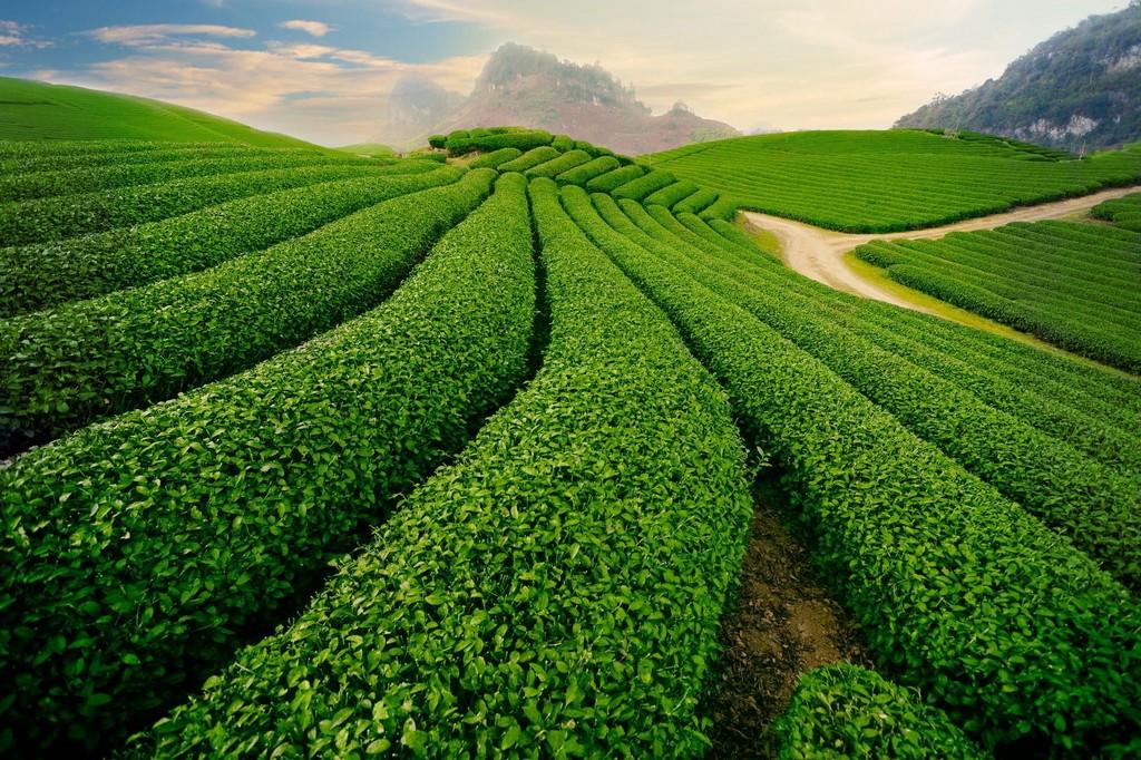 tea platation moc chau plateau
